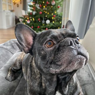 Cozy Little Christmas... 😏 • • #frenchiepetsupply #frenchiesofinsta #frenchiesofinstagram #frenchbulldog #frenchbulldogs #frenchie #frenchies #frenchiegram #frenchiesgram #frenchieoftheday #instafrenchie #frenchielove #frenchbulldogsofinstagram #frenchbulldogsofig #frenchielife #frenchiesociety #frenchiesofig #frenchbulldogpuppy #frenchbulldogpuppies #frenchiephotos #frenchiebulldog #frenchiestagram #frenchiesoverload #frenchielover #frenchielovers #frenchbulldoglove #frenchbulldoglovers #frenchieworld #frenchie_mob